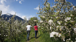 Apple blossom in the Italian Alps