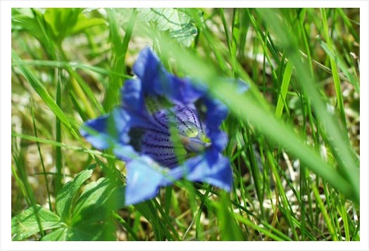 31|a gentian for you!