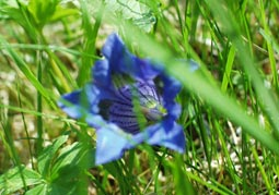 a gentian for you!